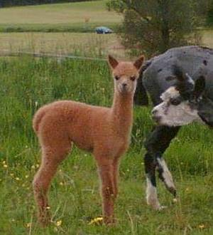 futter kauf für alpacas